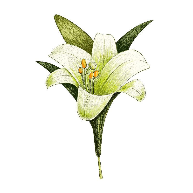 Illustration of a white lily on a plain white background