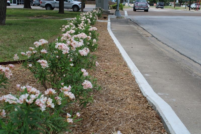 Flowering miniature oleander bushes along a sidewalk